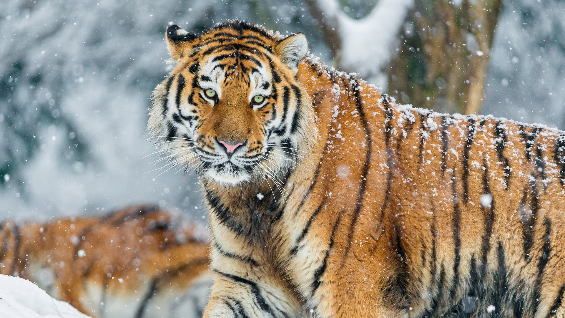 Amur tiger with bright green eyes faces camera in the snow