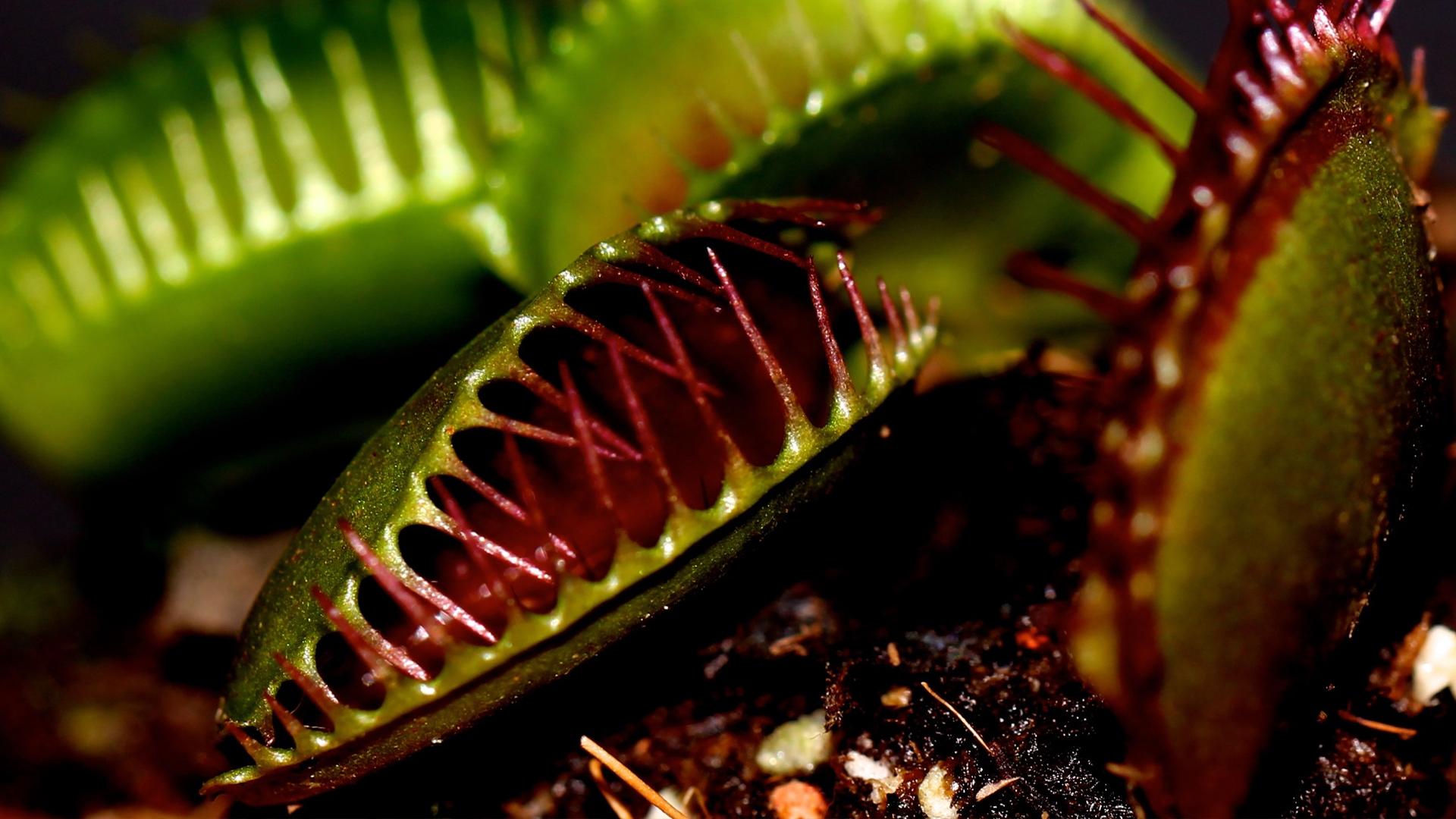 A close up image of a Venus flytrap.