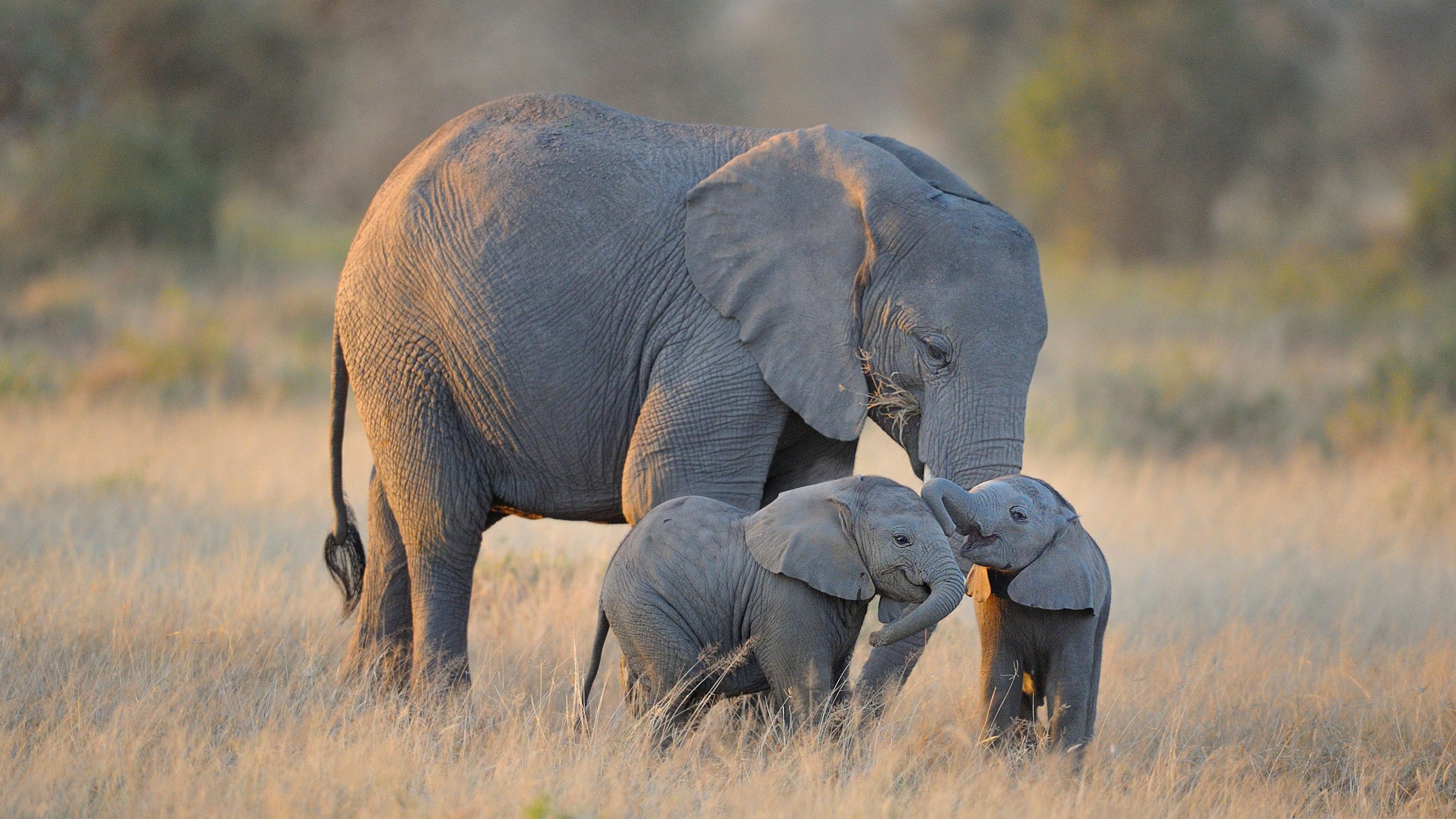 Two elephant twins with adult elephant, Amboseli National Park, Kenya