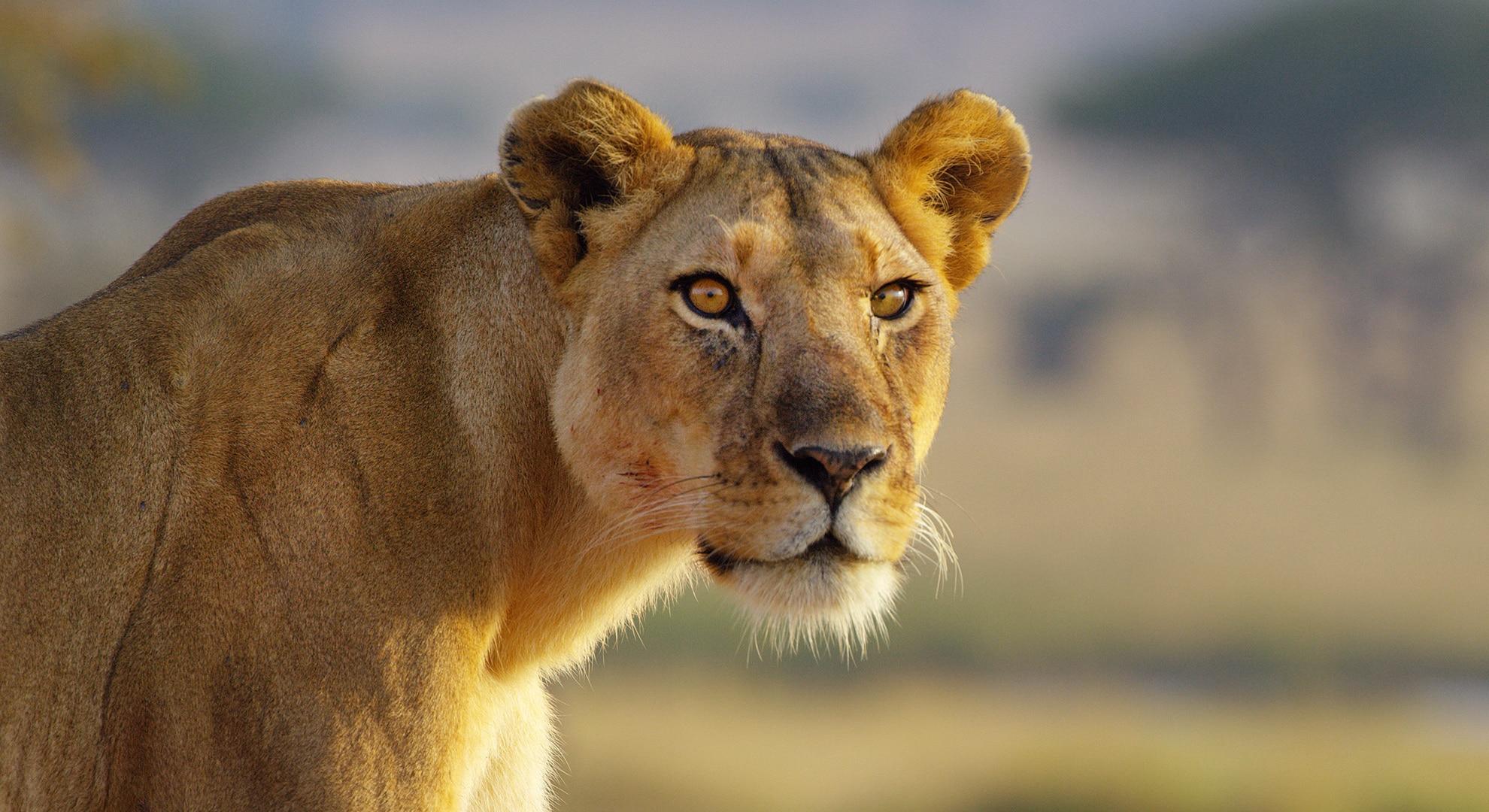 Kali the lion Serengeti 2