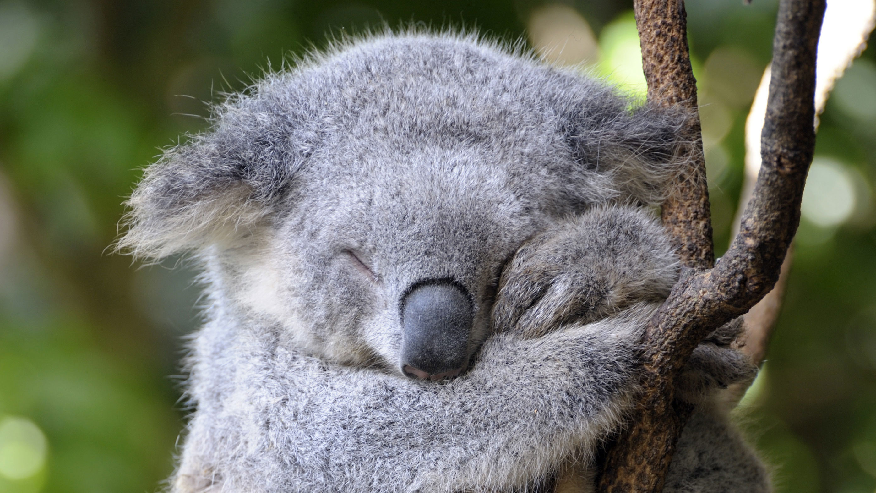 Koala resting its eyes whilst up a tree