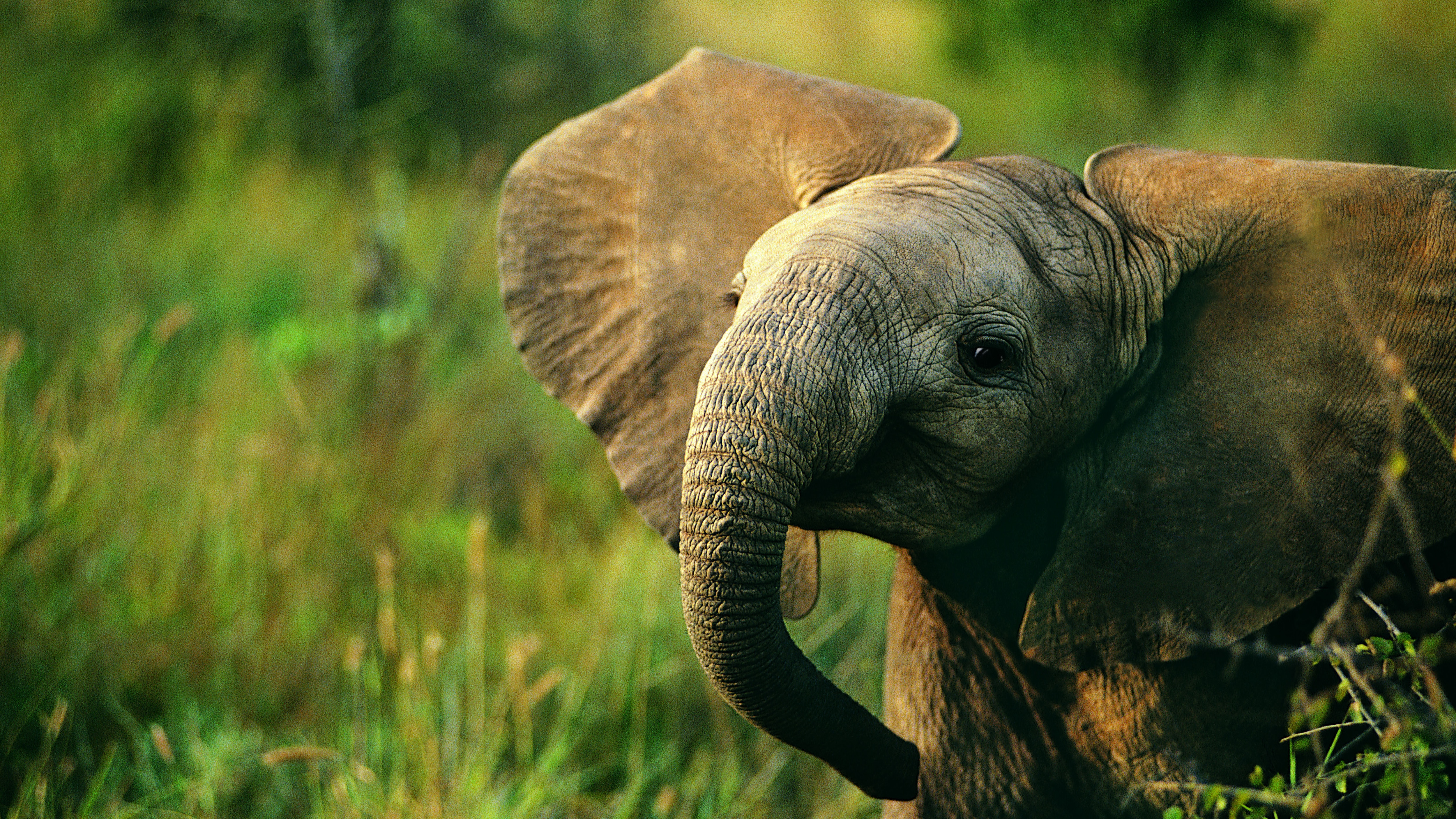 African elephant calf with ears outwards