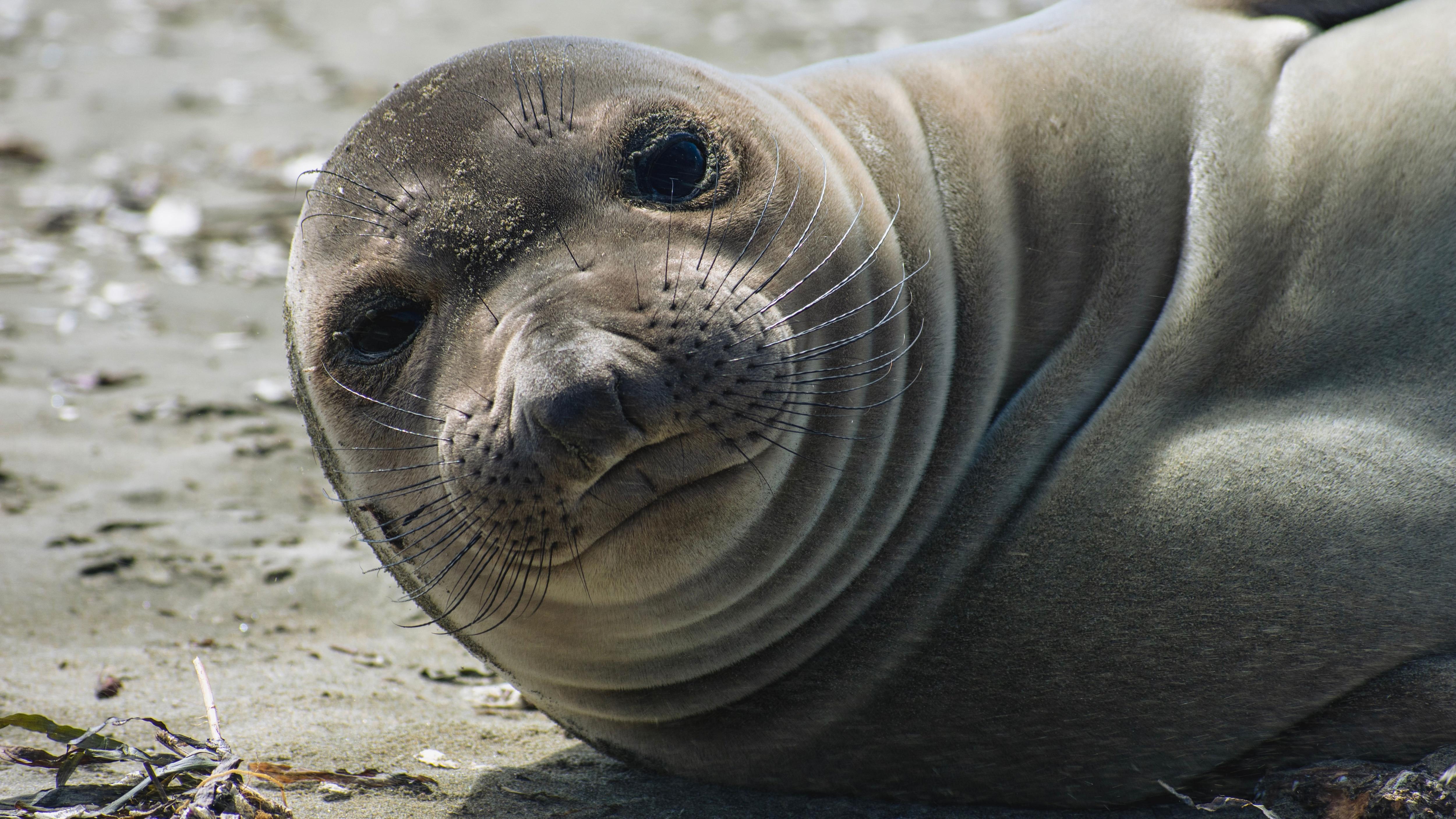Seal looking towards the camera