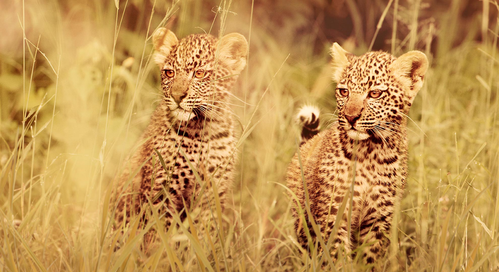 Mzuri and Dada the Leopard cubs Serengeti 2