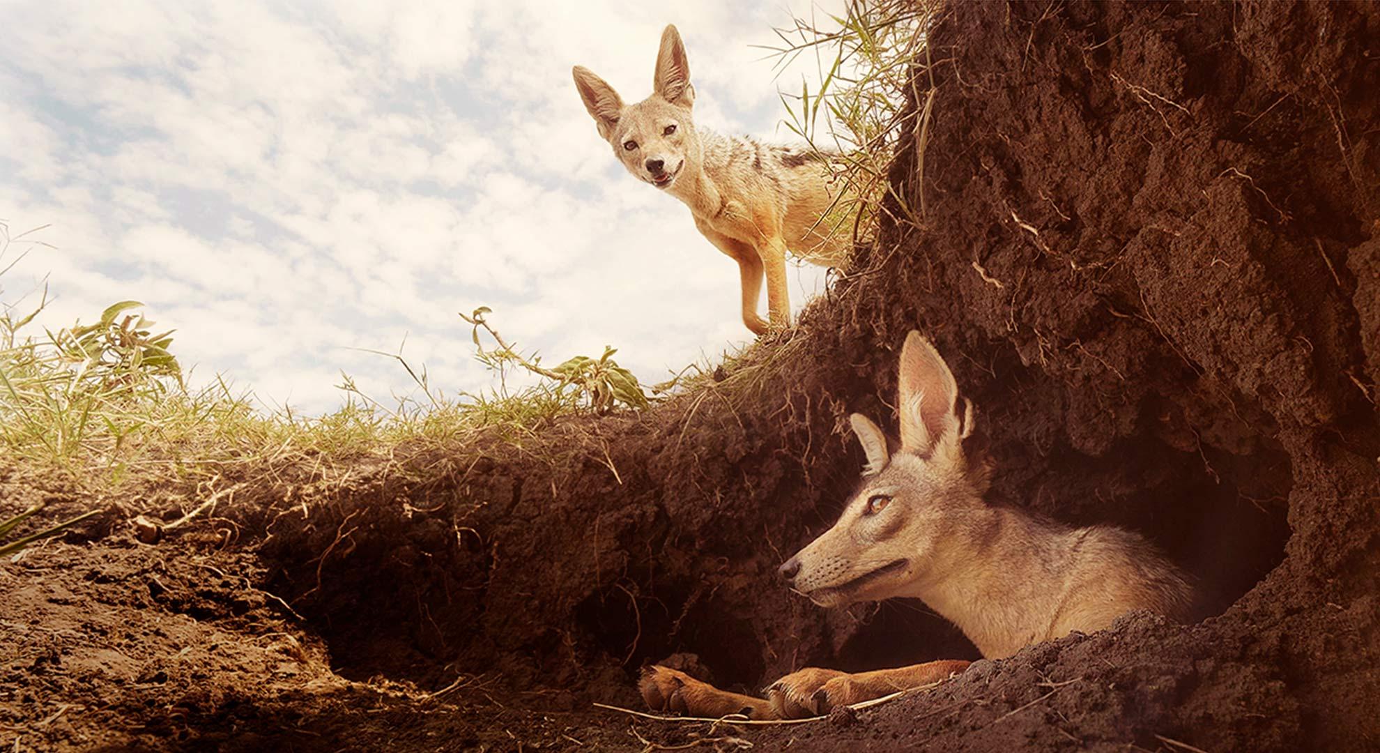 Shavu and Shaba the Jackals Serengeti 2