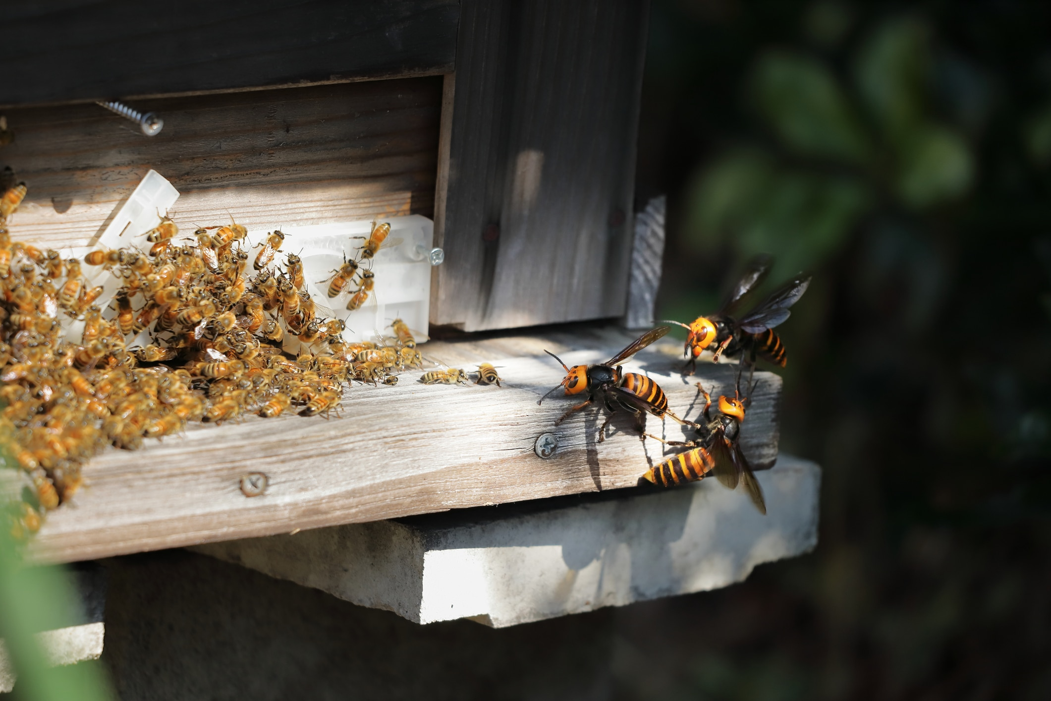 giant hornets attack beehive