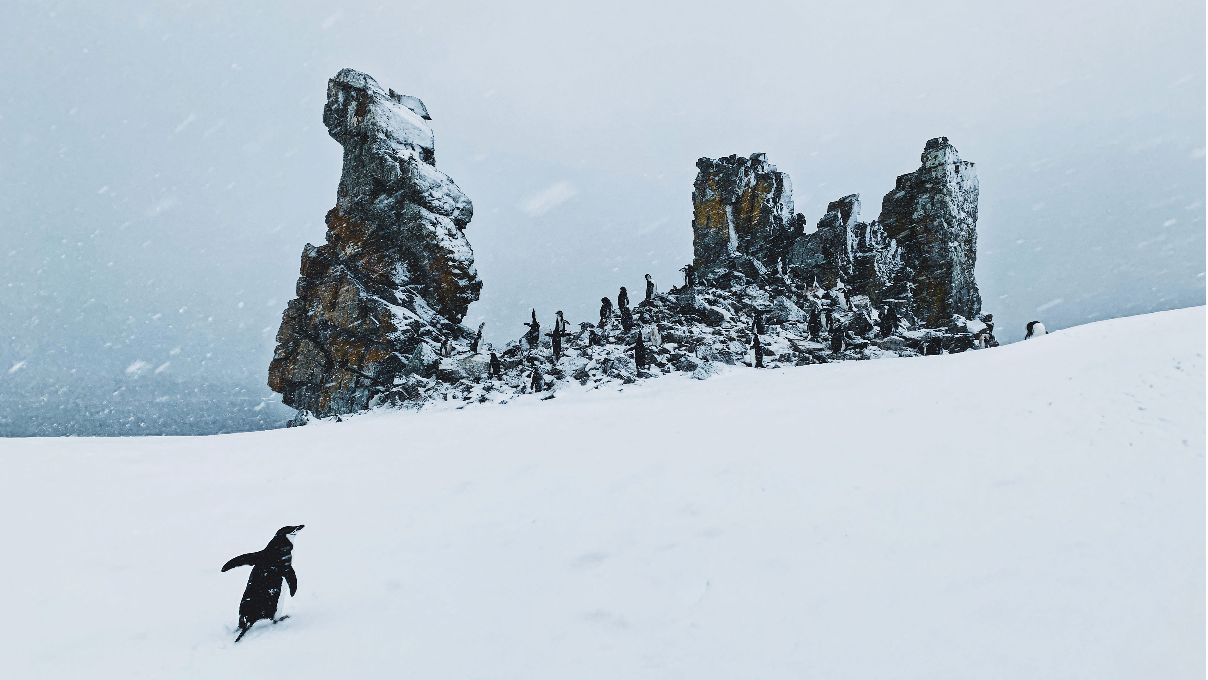 Chinstrap penguin half moon island