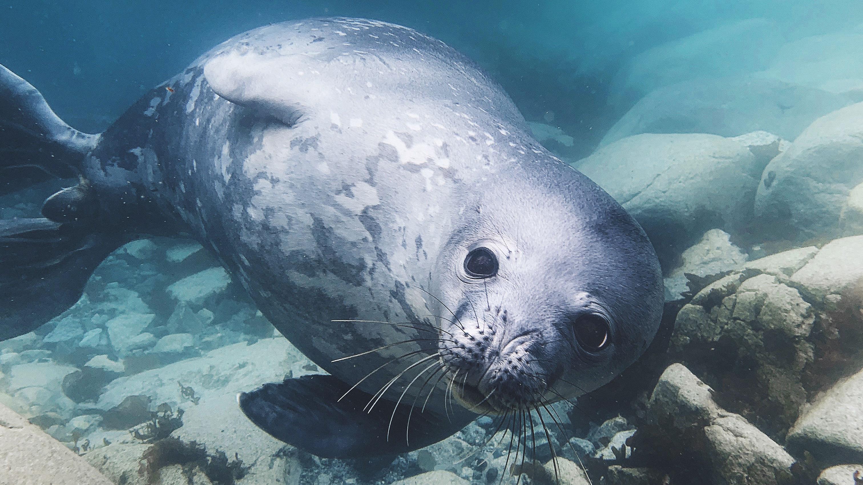 Weddell seal underwater