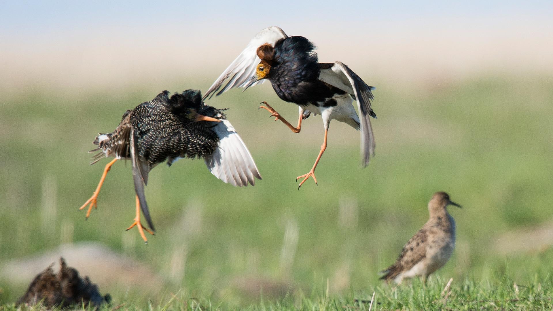 Ruff bird The Mating Game