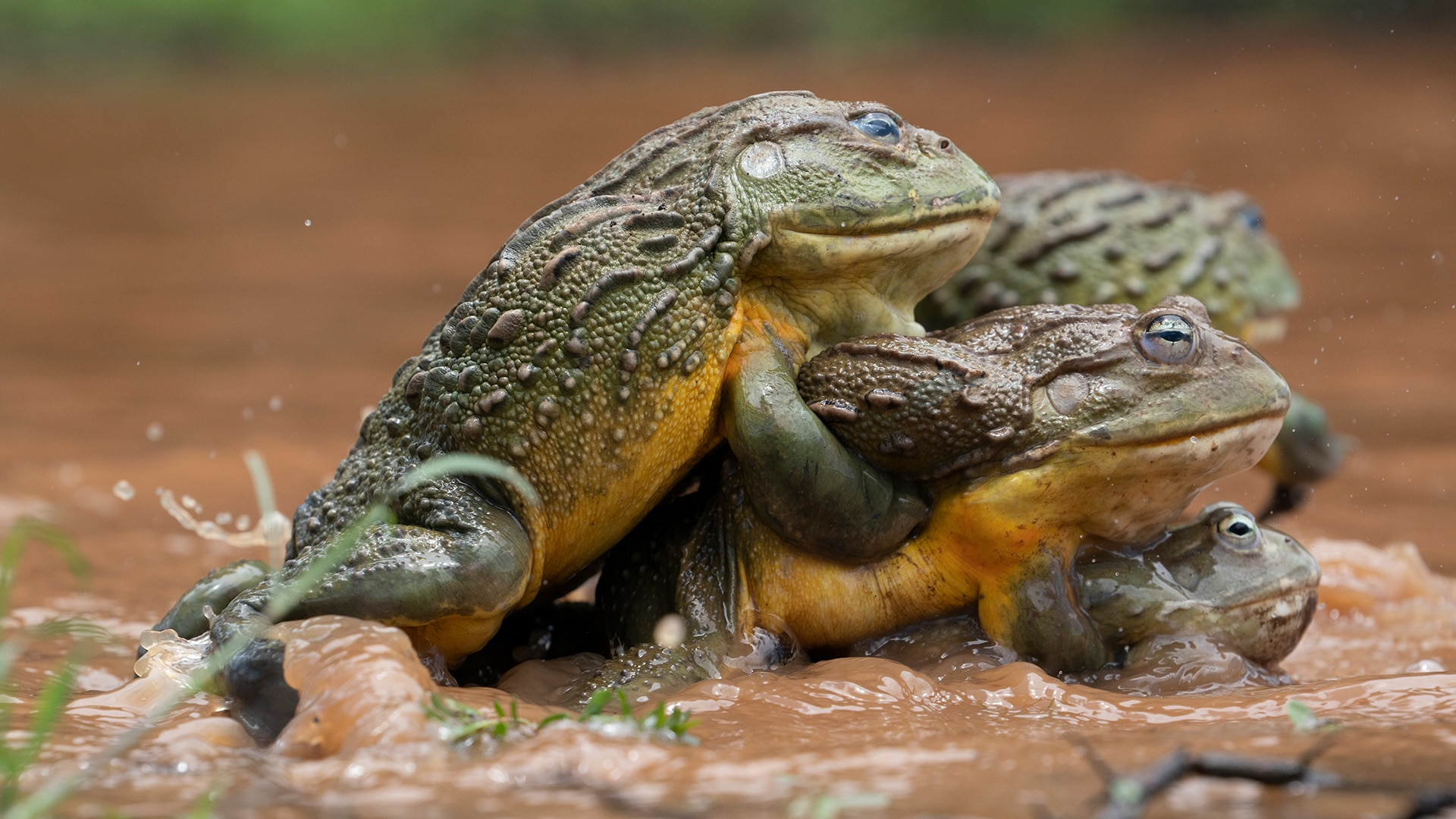 African Bullfrog The Mating Game