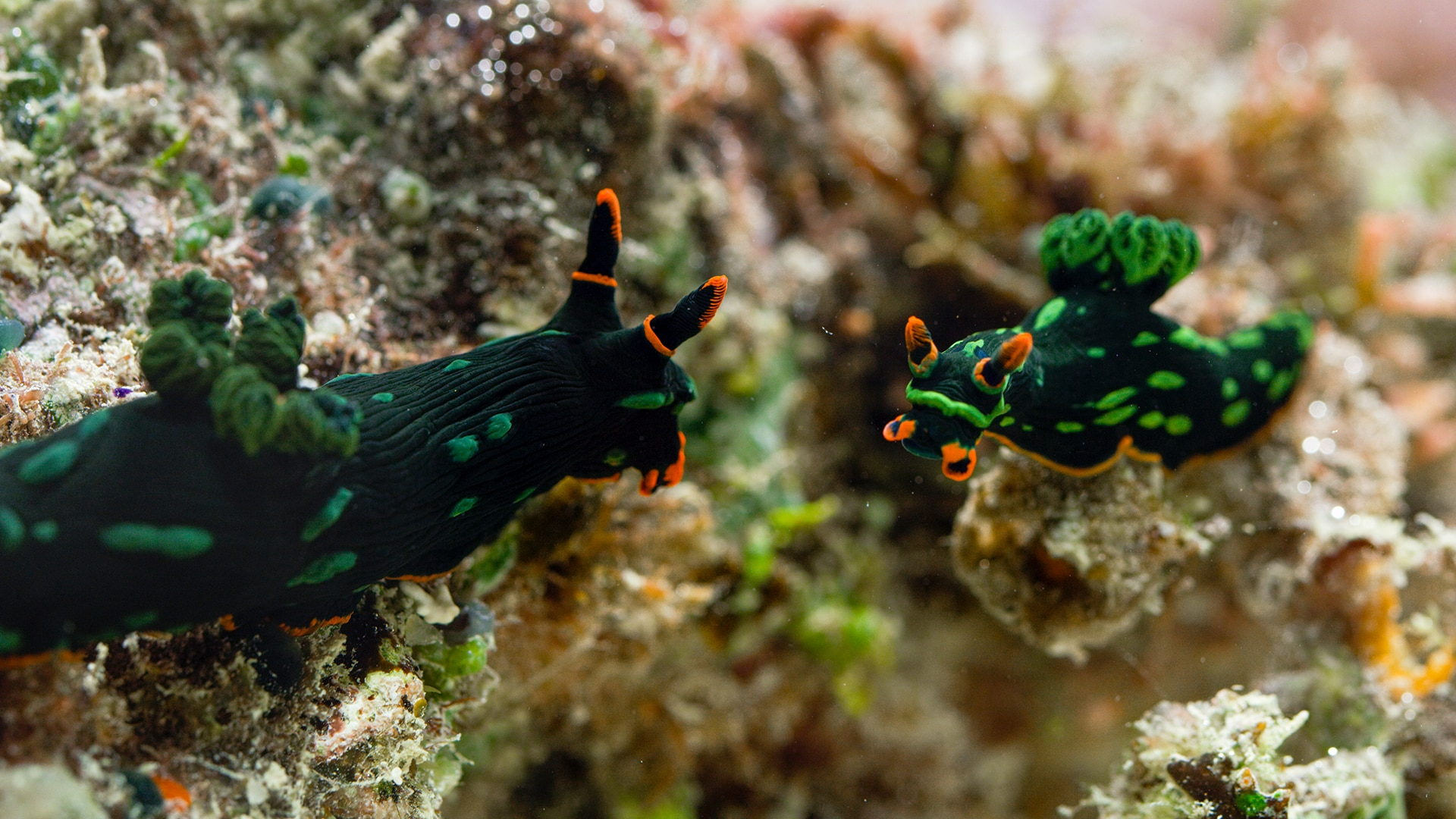 Nudibranch The Mating Game