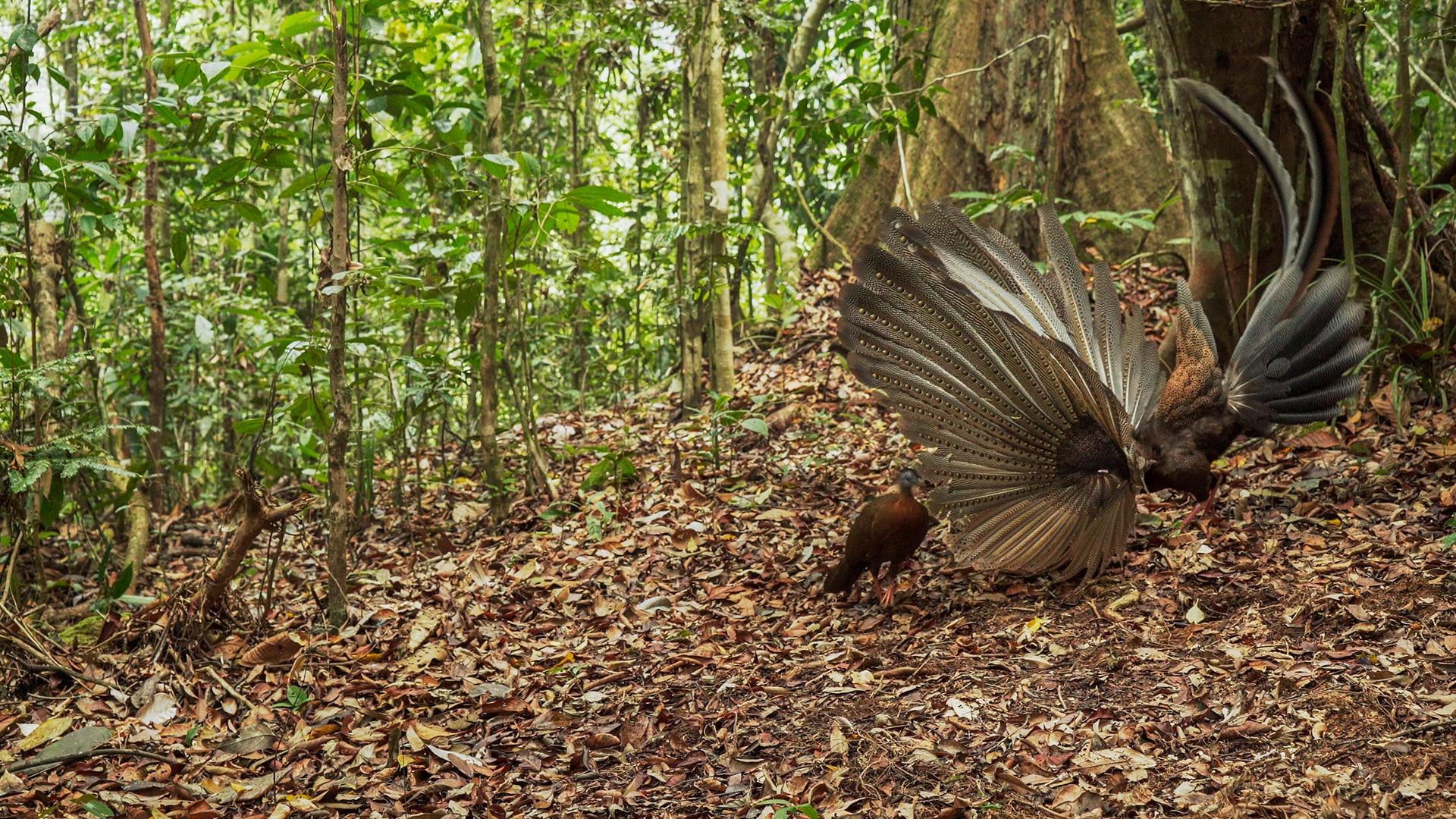 Argus Pheasant The Mating Game